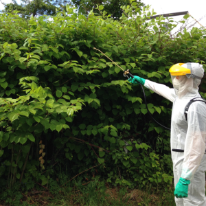 japanese-knotweed-herbicide-spraying